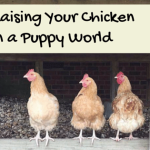 Raising Your Chicken in a Puppy World