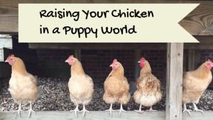 Raising Your Chicken In A Puppy World