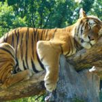 Taming the Tiger for Play Therapists